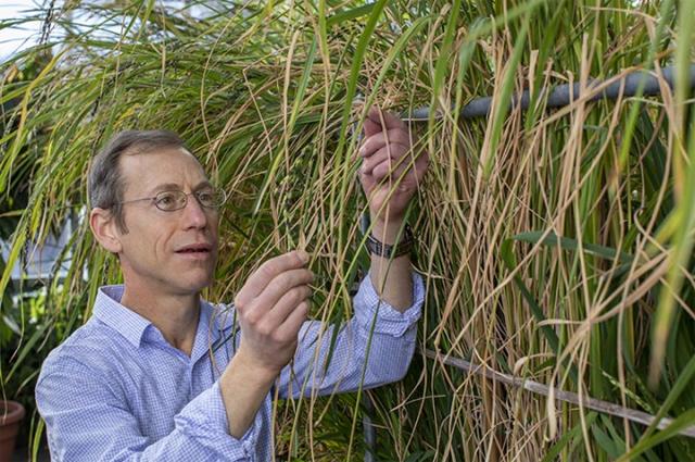 케네스 올슨 미국 세인트루이스 워싱턴대 생물학과 교수는 중국농업과학원 과학자들과 함께 비번역 RNA 양을 조절해 쌀의 주요 특성을 상당 부분 바꿀 수 있다는 사실을 알아냈다. 세인트루이스 워싱턴대 제공