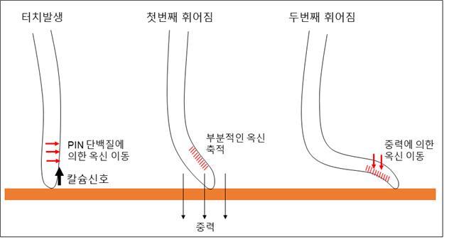 뿌리가 장애물에 닿는 터치가 발생하면 칼슘 신호가 발생한다. 아직 원리는 알 수 없지만, 이 현상이 PIN 단백질을 활성화시켜 옥신 호르몬을 이동시키고 첫번째 휘어짐이 생긴 뒤 휘어진 뿌리는 중력의 영향으로 옥신의 재분배가 이루어지며, 이로 인해 두 번째 휘어짐이 발생한다. 휘어진 뿌리는 계단 모양을 유지하며 장애물의 끝에 다다를 때까지 장애물을 탐색하며 성장한다. 생명연 제공.