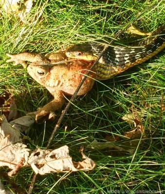 두꺼비를 잡아 먹는 뱀