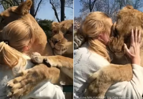 사람과 뜨겁게 포옹하는 사자들