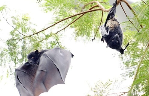 리빙스턴의 과일박쥐 (Pteropus livingstonii). 중국 CDC는 과일 박쥐에서 발견된 바이러스와 이번 코로나 바이러스의 연관성을 확인한 바 있다. APF/연합뉴스 제공