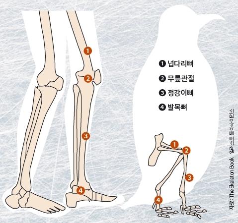 기본적으로 펭귄의 다리 구조는 인간과 크게 다르지 않다. 다만 인간과 달리 무릎이 몸 안에 숨겨져 있으며 외형상 무릎관절처럼 보이는 부위가 사실은 발목관절이다.  자료 The Skeleton Book / 일러스트 동아사이언스DB