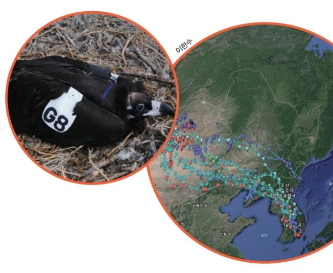 한국환경생태연구소는 미국 덴버동물원과 몽골에서 갓 태어난 독수리들에게 추적기를 달았다. 추적 결과 우리나라와 북한, 중국 랴오닝성, 몽골 고비사막을 거친다는 사실이 밝혀졌다. 사진 이한수 제공