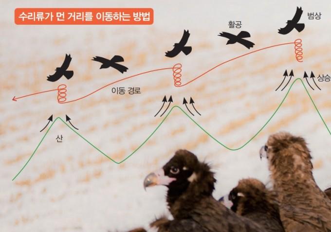 사진은 겨울을 나기 위해 한국을 찾은 독수리. 수리류는 먼 거리를 이동할 때 산의 사면에서 상승 기류를 타고 원을 그리며 고도를 높이는 '범상'과 고도를 낮추며 다음 산까지 이동하는 '활공'을 반복한다. 1500~2000m 고도에서는 거의 날갯짓을 하지 않고 바람만을 이용한다. astinkim1030 제공