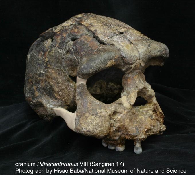 인도네시아 자바섬 상기란에서 발굴된 가장 완벽한 형태의 호모 에렉투스 두개골 화석이다. 약 82만 년 전 지층에서 발견됐다. 이 지역에서는 최대 170만 년 전 호모 에렉투스 화석이 존재한다는 주장이 있었지만, 이번에 아무리 빨라야 150만 년 전에 첫 호모 에렉투스가 진출했다는 연구 결과가 나왔다. 일본국립자연과학박물관 제공