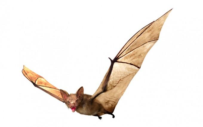 전문가들은 박쥐가 가지고 있는 코로나바이러스, 중증급성호흡기증후군(사스)을 일으키는 사스-코로나바이러스와 신종 코로나바이러스의 유전정보를 비교 분석해 원 숙주가 박쥐라는 사실을 밝혀냈다. 게티이미지뱅크 제공