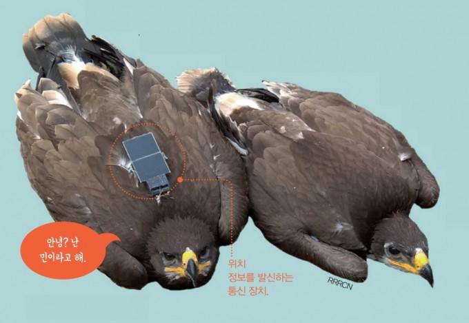 위치 정보를 발신하는 통신장치를 부착한 초원수리 ′민′. RRRCN 제공