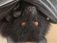 리빙스턴의 과일박쥐 (Pteropus livingstonii). 중국 CDC는 과일 박쥐에서 발견된 바이러스와 이번 코로나 바이러스의 연관성을 확인한 바 있다. IUCN 제공
