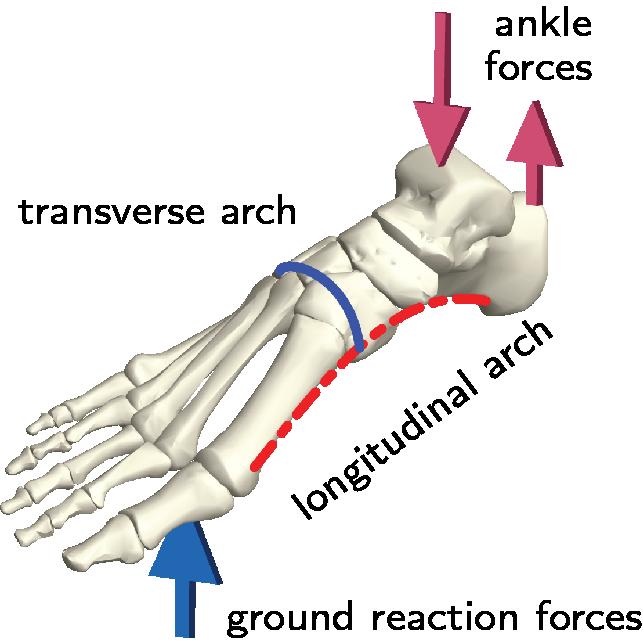 인류의 발에는 두 개의 활 모양 구조가 있다. 발 길이 방향으로 난 구조와 좌우 폭 방향 구조가 있어 발 아래 안쪽을 오목하게 만든다. 기존 예측과 달리 이 가운데 폭 방향의 구조가 발의 강성을 높이는 데 중요하다는 사실이 밝혀졌다. 예일대 제공