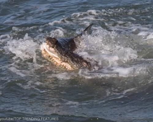 상어 물고 가는 악어 '포착'