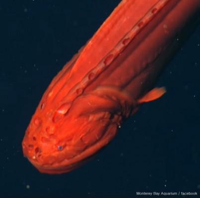 강렬한 인상, 붉은색 심해 '고래 물고기'