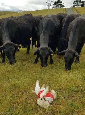 소떼의 사랑을 받는 강아지
