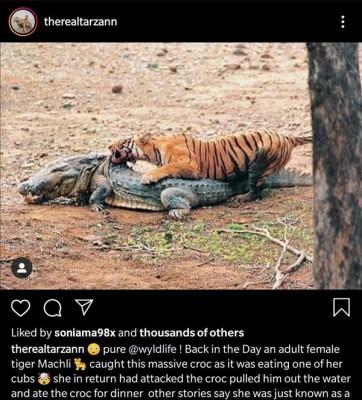 악어를 잡아 먹는 호랑이