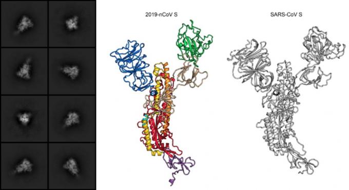 신종 코로나바이러스의 스파이크 단백질을 저온전자현미경으로 촬영한 영상(왼쪽)과 신종 코로나바이러스 스파이크의 구조(가운데), 사스 바이러스 스파이크 구조의 모습이다. 바이오아카이브 캡처