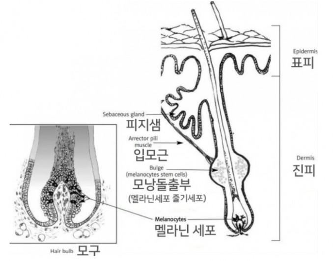 모낭의 구조를 보여주는 그림으로 모낭돌출부에 멜라닌세포줄기세포가 있고 모구에 멜라닌세포가 있다. 성장기를 지나 퇴행기를 거쳐 휴지기에 들어가면 머리카락이 빠지고 모낭이 수축하고 멜라닌세포가 죽는다. 다음 성장기에 들어서면 멜라닌세포줄기세포가 분열해 일부가 모구로 이동해 멜라닌세포로 분화한다. '피부과학 및 알러지학의 진보' 제공