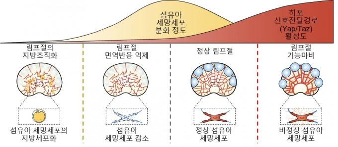 림프절 내 섬유아 세망세포의 분화 정도와 히포 신호전달경로 연관성을 나타낸 모식도다. 섬유아 세망세포 분화 초기에 히포 신호전달경로가 비활성화되면, 세포 분화 이상으로 섬유아 세망세포가 지방세포화 되어 면역반응이 정상적으로 일어나지 않는다. 섬유아 세망세포 분화 후기에 히포 신호전달경로가 활성화 되면, 림프절 섬유화가 일어나 림프절이 딱딱하게 굳어져 제 기능을 하지 못하게 된다. IBS제공.