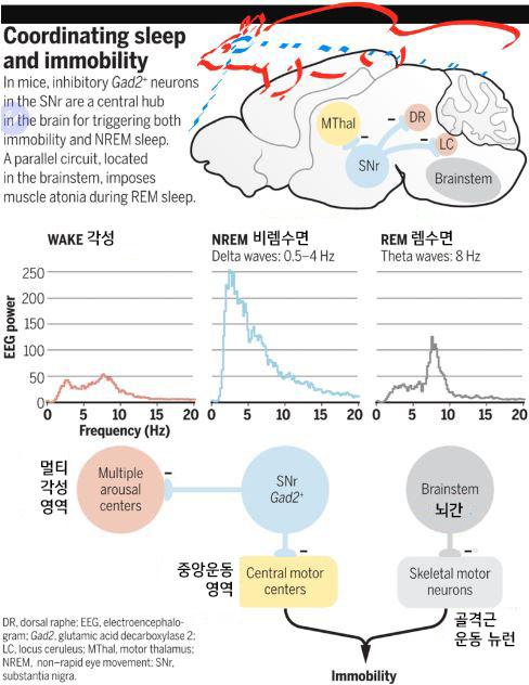 뇌 기저핵의 흑질망상부(SNr)에 입면 신경 네트워크의 허브 역할을 하는 뉴런이 존재한다는 사실이 최근 밝혀졌다. 위는 생쥐 뇌의 옆모습으로 SNr 뉴런이 등쪽솔기(DR)과 청반(LC)에 존재하는 각성 뉴런과 시상 운동영역(MThal)의 운동 뉴런을 강하게 억제하는 신호를 보내고 있다. 가운데는 각 단계의 뇌파 패턴으로 비램수면일 때 수면파로 불리는 델타파가 강함을 알 수 있다. 아래는 비렘수면(컬러)과 렘수면(흑백)의 신경회로 차이를 보여준다. 렘수면에서는 뇌간의 특정 뉴런이 골격근의 수축을 조절하는 척수의 운동 뉴런을 억제해 근육 무기력을 일으킨다. 사이언스 제공