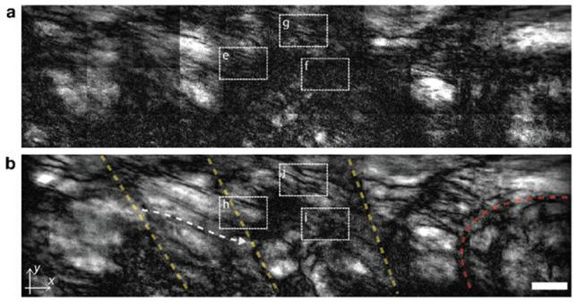 연구진은 일반 광학현미경(a)과 공간게이팅 현미경(b)을 이용해 부화한 지 30일 된 성체 제브라피시 내부를 관찰했다. 기존에는 관찰하기 어려웠던 근육중격(노란 점선), 근육-뼈 접합부(붉은 점선), 근육결(흰색 점선)까지 관찰할 수 있음을 볼 수 있다. IBS 제공.