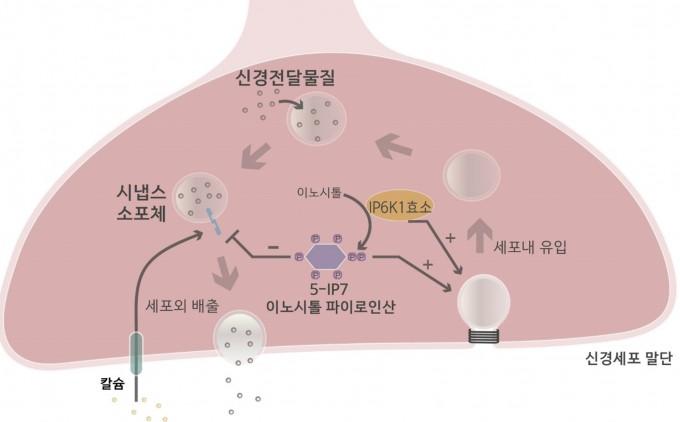 이노시톨 파이로인산이 신경전달물질의 분비를 조절하는 과정을 설명했다. 신경전달물질을 담은 주머니인 소포체가 체외로 배출하는 과정과, 배출이 끝난 빈 소포체를 다시 세포 내에 유입시켜 재활용하는 과정에 이노시톨 파이로인산이 관여한다. 한국연구재단 제공