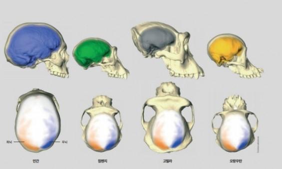 유인원도 인간처럼 좌우 뇌 비대칭