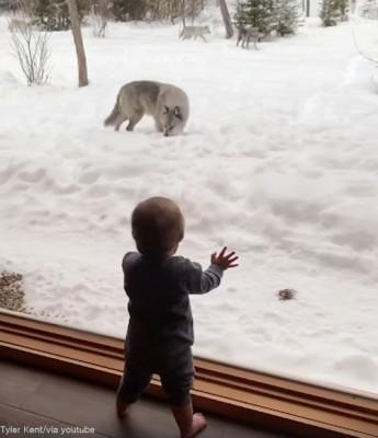 늑대 떼가 아기 앞에 나타났다