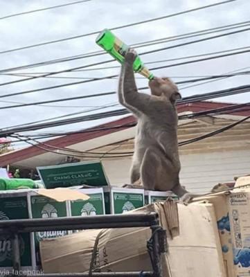 맥주 훔쳐 마시는 원숭이 '포착'