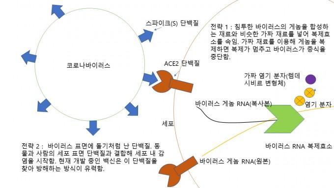 코로나19를 일으키는 사스코로나바이러스-2(SARS-CoV-2)의 감염 및 증식 전략을 그림으로 정리했다. 현재 치료제는 이 두 가지 전략을 중점적으로 공략하고 있다. 동아사이언스 제공
