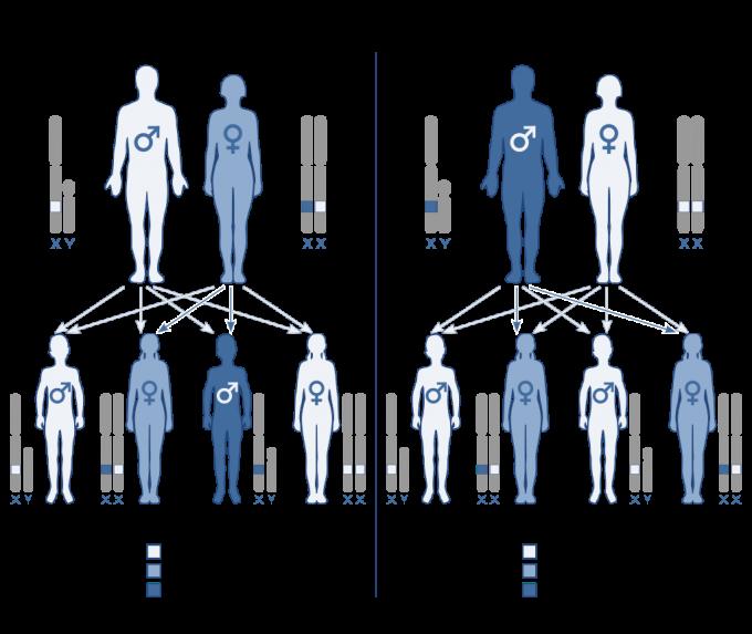 '안전망 없는 X 가설'을 뒷받침하는 대표적인 예가 혈우병이다. 왼쪽은 정상 유전자인 남성과 열성 유전자를 하나 지닌 여성(carrier. 본인은 혈우병에 걸리지 않았다) 사이에 혈우병(affected) 아들이 태어날 수 있음을 보여준다. 오른쪽은 혈우병인 남성과 둘 다 정상 유전자인 여성 사이에 혈우병 자녀가 태어날 수 없음을 보여준다. 위키피당 제공