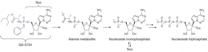 렘데시비르(GS-5734)는 전구약물로 세포 안으로 들어가면 인체 효소의 작용으로 약효를 지닌 약물 NucTP(맨 오른쪽)로 바뀐다. 각각의 분자구조다. 네이처 제공