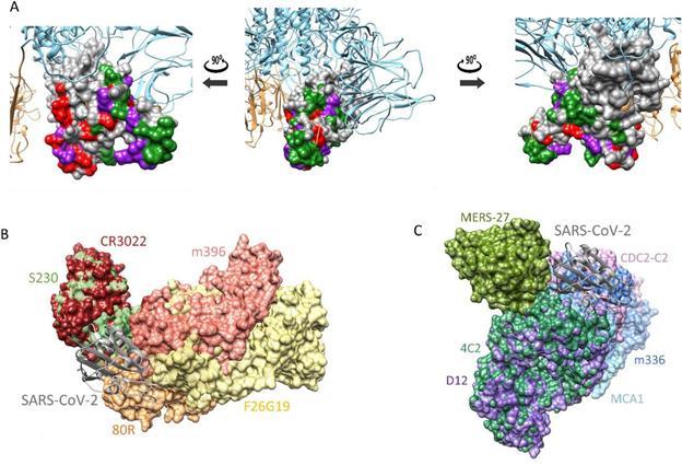 한국화학연구원 신종바이러스(CEVI) 융합연구단은 컴퓨터 시뮬레이션을 이용해 코로나19에 이용할 수 있을 것으로 보이는 항체 3종을 찾아내는 데 성공했다. 코로나19 바이러스의 3차원 구조(위)와 사스 중화항체(CR3022, 왼쪽 아래), 메르스 중화항체(D12, 오른쪽 아래)에 결합한 모습이다. 한국화학연구원 제공