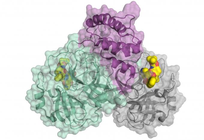 신종 코로나바이러스의 증식에 필수적인 효소이자 약물 표적이기도 한 프로테아제의 구조가 분석됐다. 노란색은 약물 후보로 이 물질을 부착하면 프로테아제가 억제돼 바이러스가 복제되지 않는다. 헬름홀츠-젠트룸 베를린(HZB) 제공