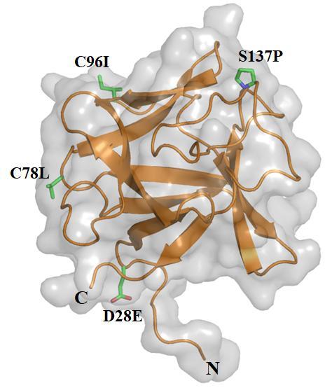 인간의 FGF2는 155개의 아미노산으로 구성된 단백질이다. 상온에서는 24시간 내에 활성을 모두 상실하는데, KIOST 연구팀은 고래 유전자와 실험 결과를 활용해 안정형 FGF2를 개발했다. 인간 FGF2에서 28번째 아미노산인 아스파트산, 78번째 시스테인, 96번째 시스테인, 137번째 세린을 각각 글루탐산과 류신, 류신, 프롤린으로 치환했다. KIOST 제공
