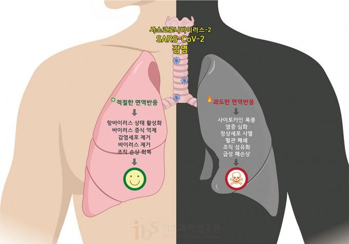 면역반응은 양날의 검이다. 적절한 면역 반응은 바이러스의 증식을 억제하고 바이러스에 감염된 세포를 제거하는 등 이롭게 작용하지만, 과도해지면 오히려 사이토카인 폭풍을 일으키고 정상세포에도 피해를 주어 조직 손상 및 심한 경우 사망에까지 이를 수 있다. 그림: 정희은(biorender)
