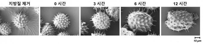 연구팀이 꽃가루에 염기성 용액을 가해 점점 부드러워지는 모습을 관찰했다. 난양공대 제공