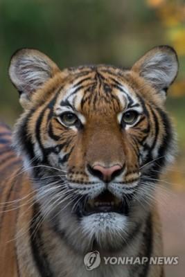 뉴욕 브롱크스동물원 호랑이 코로나19 확진…