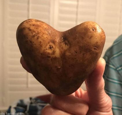 완벽한 하트 모양 감자 '화제'