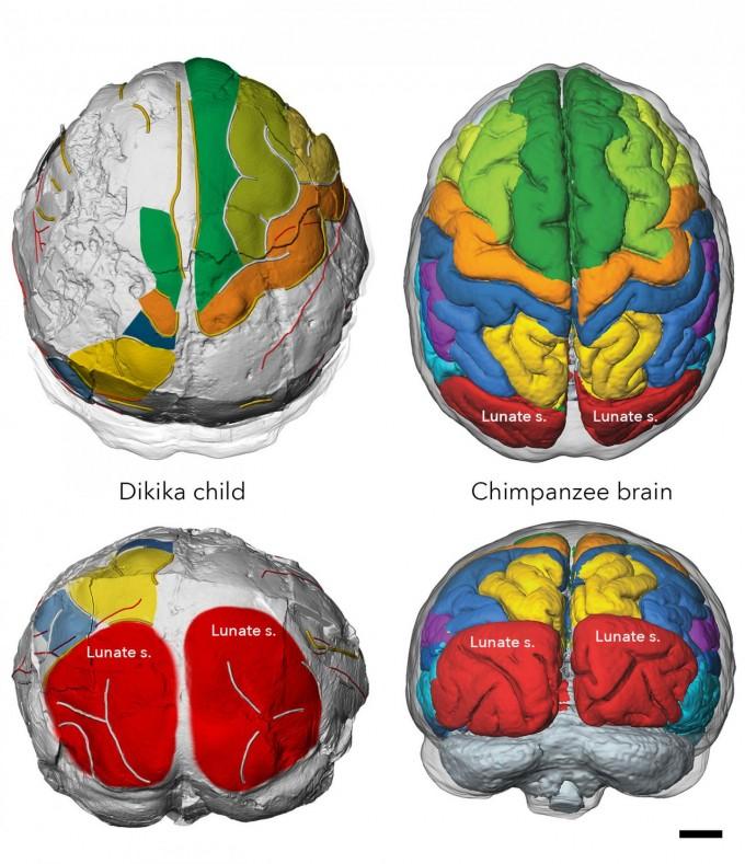 300만 년 전 오스트랄로피테쿠스 아파렌시스의 뇌를 복원한 영상(왼쪽)과 현생 침팬지의 뇌를 비교했다. 뇌의 크기는 오스트랄로피테쿠스가 약 20% 크지만, 구조는 거의 비슷하다. 연구팀은 유년 시절 오스트랄로피테쿠스의 뇌가 늦게 성장하며, 이 때문에오랜 기간 부모 등으로부터 보살핌을 받으며 인지 능력과 사회성을 습득하는 과정이 필수였다고 주장했다. 인류는 300만 년 전부터 사회의 도움을 받으며 천천히 성장했고, 그 결과두발 보행과 도구 사용 등 보다 현생인류와 비슷한 특징을 낼 수 있었다는 뜻이다. 막스플랑크연구소 제공