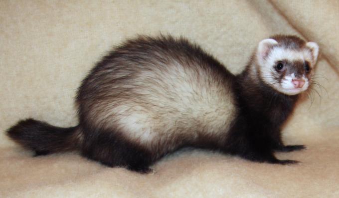 사스 등 호흡기질환 등의 동물실험에 사용되는 흰족제비(페럿) 역시 코로나19 관련 실험에 활용되고 있다. 위키미디어 제공