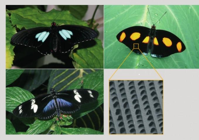오른쪽 위부터 반시계방향으로 수붉은큰점네발나비, 녹색사향제비나비, 도리스독나비. 이들 나비를 비롯한 일부 나비는 날개 표면의 미세구조로 인해 날개의 빛 흡수율이 최대 99.94%에 이른다. 수붉은큰점네발나비 날개 표면에는 원형의 구멍이 뚫린 미세구조가 있다 (노란색 사각형)