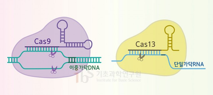 크리스퍼 유전자 가위는 절단 효소에 따라 몇 가지 종류로 나뉜다. 많이 알려진 크리스퍼-카스9(Cas9‧왼쪽)은 이중가닥 DNA를 절단하는 반면, 크리스퍼-카스13(Cas13)은 단일가닥 RNA를 절단하는 등 종류에 따라 교정하고자 하는 표적이 다르다.