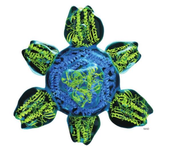 미국 연구팀이 개발 중인 만능 독감 백신 구조도. 표면에 인플루엔자바이러스 헤마글루티닌 단백질(연두색) 8개가 붙어있다. 헤마글루티닌이 모든 독감 바이러스 아형에 공통적으로 결합할 수 있는 항체를 만들도록 디자인한다.  NIAID 제공