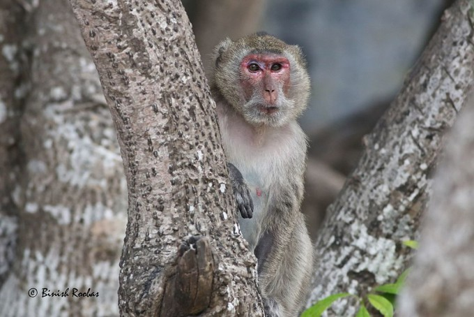 붉은털원숭이(레서스 마카크) 역시 코로나19 관련 동물실험에 참여하고 있다. 위키미디어 제공