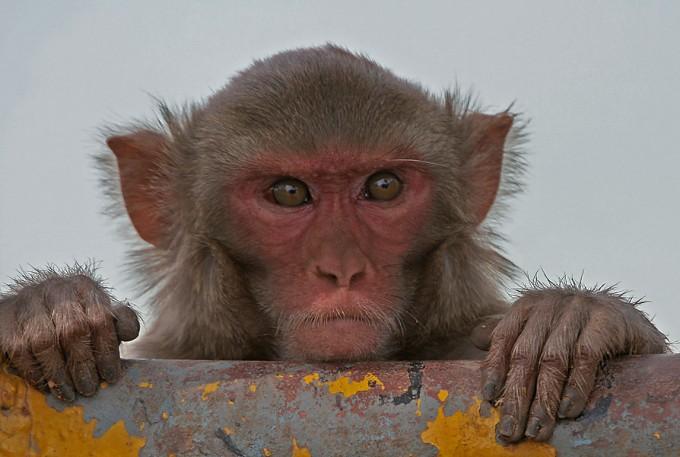 국내에서도 코로나19 연구에 활용할 수 있는 영장류 모델이 개발돼 국산 치료제 및 후보물질 실험에 들어갔다. 해외에서는 미국과 중국, 네덜란드 등이 영장류 모델을 완성해 연구 중이다. 사진은 실험에 이용된 것과 같은 종인 붉은털원숭이(레서스 마카크)의 모습이다. 위키미디어 제공