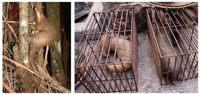 코로나바이러스를 유발하는 사스코로나바이러스-2의 중간숙주로 지목된 말레이 천산갑은 동남아시아 열대지역에서 서식하는 야행성 포유동물이다. 멸종위기 종으로 보호 받지만, 여전히 불법 밀수되어 중국에서 약재와 식재료로 거래된다. 위키피디아 제공