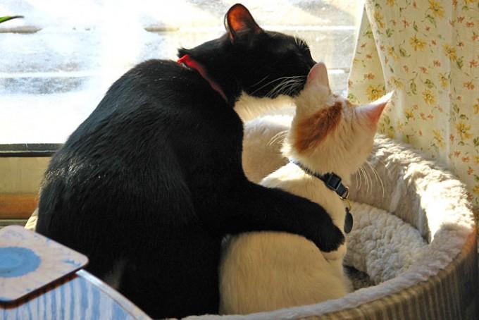 고양이가 코로나19에 감염되며 고양이 간 코로나19를 옮길 수 있다는 연구결과가 제기됐다. 위키미디어 코먼스 제공