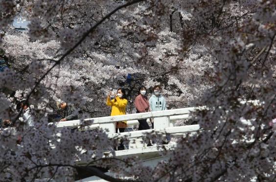 정부가 코로나 19로 강력한 사회적 거리 유지를 권유하고 있는 가운데 벚꽃놀이를 즐기는 사람들의 모습이다. 연합뉴스 제공