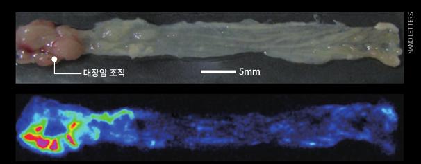 한 쥐 대장 내 암 원치 않는 곳에서 빛을 발하는 경우가 많기 때문이다. (신체 조직 아래 사진 빨간 영역) 퀀텀닷은 기존 형광 염료보다 강한 빛을 낼 수 있어 체내 깊숙한 곳에 있는 조직의 위치와 분포 등을 보여줄 수 있다. NANO LETTERS 제공