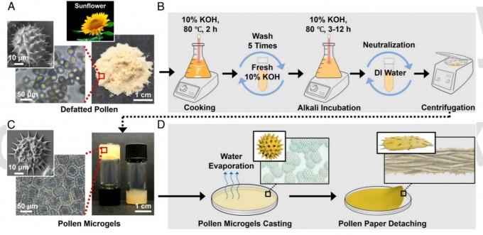 꽃가루 종이를 만드는 과정이다. 꽃가루를 채취해 모은 뒤 수산화칼륨 수용액을 넣고 80도의 온도를 가하며 배양한다(위). 이렇게 만들면 겔 형태가 되는데(왼쪽 아래), 이를 건조시켜 얇게 만들면 종이가 된다. PNAS 제공