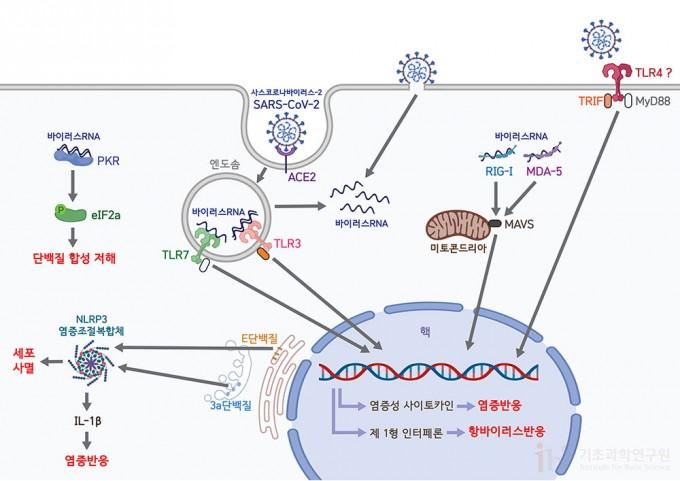 코로나바이러스의 침입은 선천면역세포의 유형인식수용체에 의해 인지된다. 이 수용체들은 세포 외부 혹은 세포 내부에 위치하며 바이러스의 특징적인 분자유형을 인식하고, 세포 내 신호전달 체계를 이용해 염증성 사이토카인 및 제1형 인터페론 등의 생성을 촉진하여 항바이러스 반응을 유도한다. 그림 정희은(biorender)
