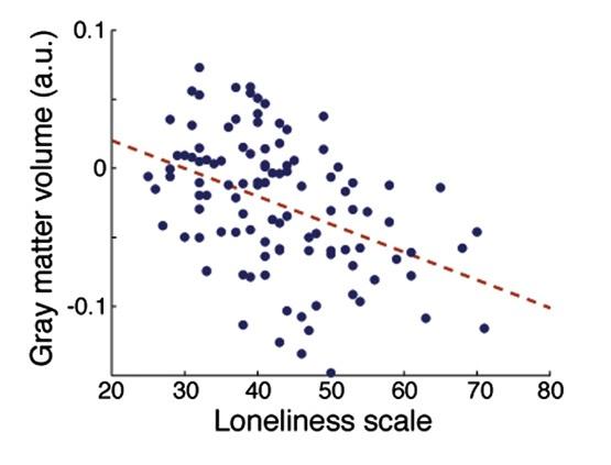 외로움을 자각하는 정도가 클수록 대뇌의 표면인 회색질(gray matter)의 부피가 작아지는 경향이 있는 것으로 나타났다. 출처 Kanai et al., 2012